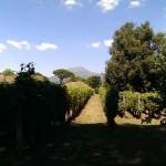 Wijngaard en de Vesuvius op de achtergrond